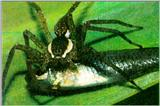 FishingSpider J01-Hunted a fish.jpg [1/1]