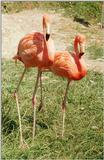 Technicolor birds - Rosy flamingoes from Frankfurt Zoo
