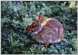 Florida Marsh Rabbit (Sylvilagus palustris) - MarshRabbit.jpg