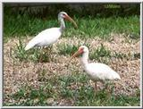 a pair of  Florida White Ibis  - WhiteIbis-1.jpg