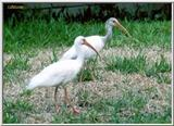 A pair of Florida white Ibis (#2) - WhiteIbis-2.jpg