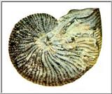 Fossils - Ammonite - Fossil-Ammonite J01-cast.jpg (1/1)