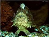 . . . . and the Beast (Frogfish)