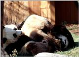Giant Pands at Play  [09/11] - Giant Panda018.jpg (1/1)