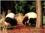 Giant Panda(s)  [03/15] - Giant Pandas002 standing on their heads.jpg (1/1)