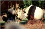 Giant Panda(s)  [09/15] - Giant Pandas008- Doing the head stand .jpg (1/1)