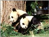 More Giant Panda(s)  [01/11] - Giant Pandas - after lunch nap.jpg (1/1)