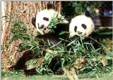 More Giant Panda(s)  [03/11] - Giant Pandas eating lunch015.jpg (1/1)