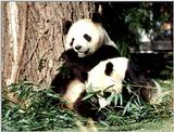 More Giant Panda(s)  [05/11] - Giant Pandas eating lunch017.jpg (1/1)