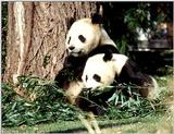 More Giant Panda(s)  [06/11] - Giant Pandas eating lunch018.jpg (1/1)