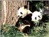 More Giant Panda(s)  [07/11] - Giant Pandas eating lunch019.jpg (1/1)