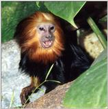 golden headed lion tamarin 3
