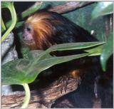 golden headed lion tamarin 4