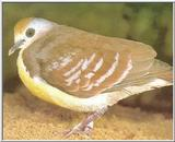 Re: Looking for pictures of DOVES!! -- Golden-heart Dove