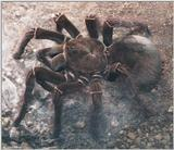 Re: Please post big hairy spider pictures