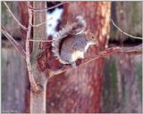 Gray Squirrel 1