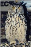 Great Horned Owl (Bubo virginianus)001