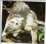 Greater glider (J01)