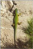 Frogs and Lizards from Greece - Green Lizard2.jpg