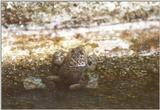 Frogs and Lizards from Greece - Yellow-bellied Toad1.jpg