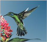 Hummingbird - green violet-ear hummingbird 01