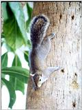 Squirrels and more squirrels - Squirrel 11.jpg (0/1)
