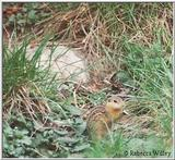 Brookfield Zoo pics - ground squirrel