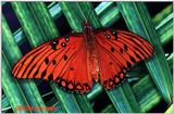 Gulf Fritillary File 1 of 2 - Fritil1.jpg (0/1)