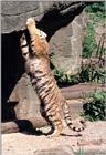 And some more tiger tails - Kitty doing the stretch