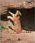 New Hagenbeck tiger scans - kitty pretending to be a big cat
