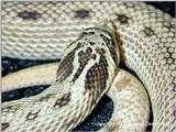 Mexican Hognose - axanthic phase