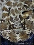 Mexican hognose - normal phase