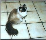 Himalayan cat (Smitty again!)