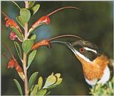 Honey-Suckers-001 - Western Spinebill, Acanthorhynchus superciliosus