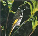 Honey-Suckers-005 - New Holland Honeyeater (Phylidonyris novaehollandiae)