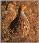 Game Bird: Hungarian Partridge