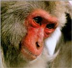 Japanese Macaque J01 - Monkey - red face closeup