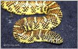 Here are some pics... Brook's Kingsnake (Lampropeltis getula brooksi)
