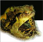 Korean Amphibian: Common Toad J01 - portrait closeup