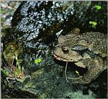 Korean Amphibian: Common Toad J05 - hunting a grasshopper