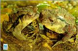 Korean Amphibian: Common Toad J06 - friendly pair on rock