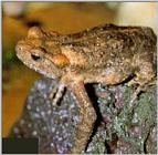 Korean Amphibian: Water Toad J01 - on rock - closeup (물두꺼비)