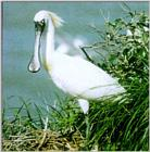 Black-faced Spoonbill (Platalea minor)