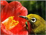 Bird of Korea - Japanese White-eye (1/1) - 동박새