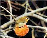 Korean Bird - Japanese White-eye (동박새)