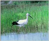 Korean Bird: Oriental White Stork J02 - Foraging in swamp