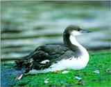 Pacific Loon - Winter plumage (회색머리아비)