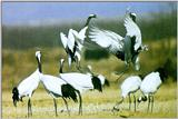 Manchurina Red-crowned Cranes (1/1)