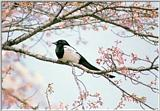 Korean Bird01 - Black-billed Magpie - Perching on bloomed tree