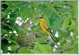 Korean Bird02-Black-naped Oriole-Mom and chicks on nest